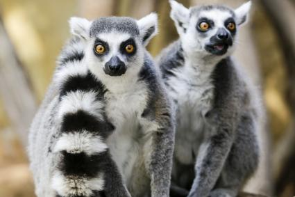 Ring-tailed lemurs at Isalo national park, Madagascar