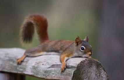 Squirrel flat on a log