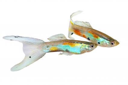 Neon Endler Guppy Double Swordtail Male Guppies