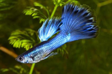Blue Guppy