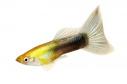 Guppy Poecilia reticulata Gold