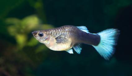 Blue Pregnant female Guppy