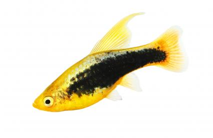 Hi Fin tuxedo Platy platy male Xiphophorus maculatus