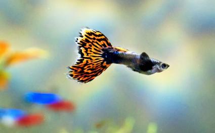 Leopard Tail Guppy