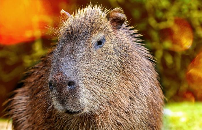 Close-Up Of Capybara