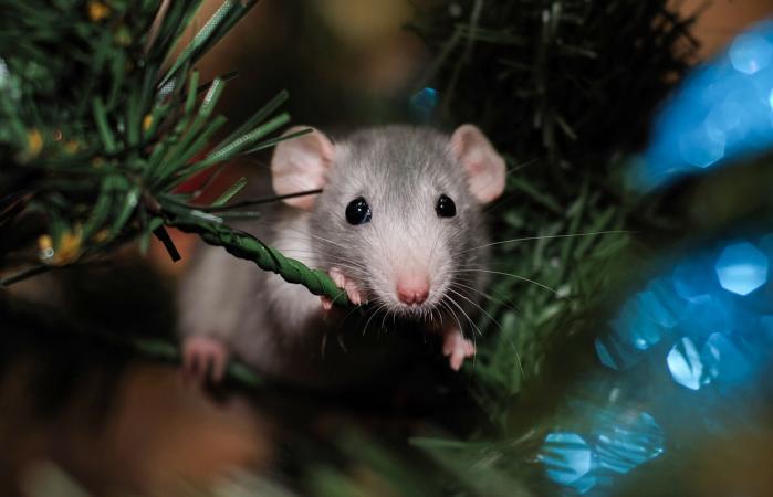 home pet dumbo rat