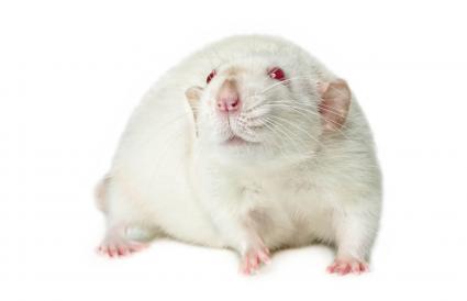Red-eyed rat