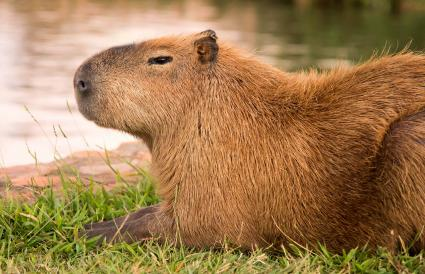 Capybara resting near water