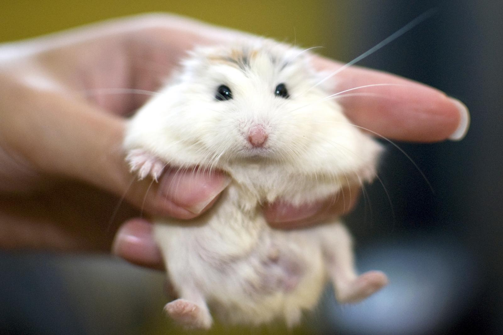 A tame white face roborovski dwarf hamster being held