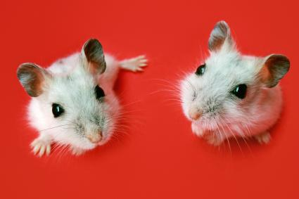 Two dwarf hamsters on red background
