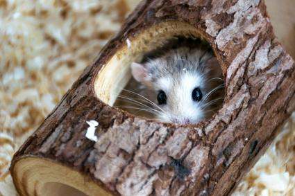 Hamster hiding in a tree trunk toy