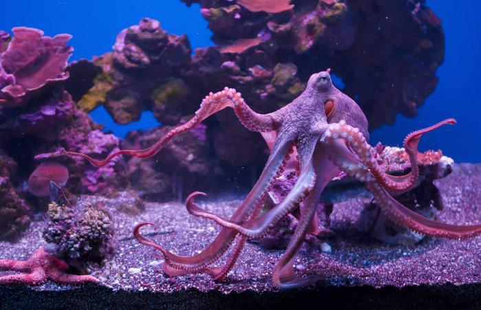 Octopus Swimming In Aquarium