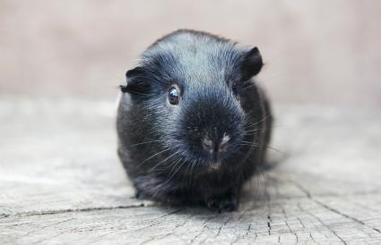 black guinea pig looking at camera