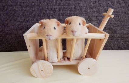 Guinea Pigs In Toy Cart