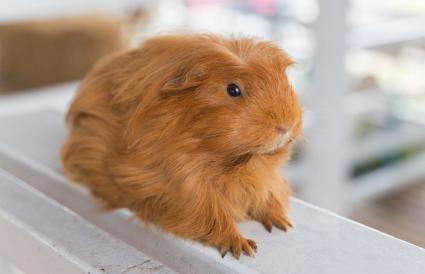 Guinea Pig On Table