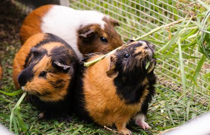 Pet guinea pigs eating grass
