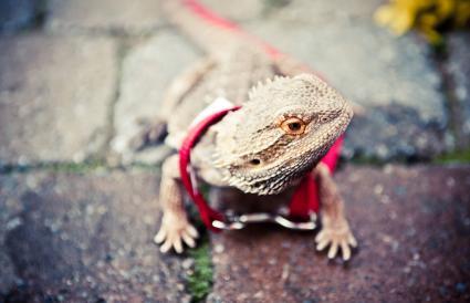 Bearded Dragon on a leash