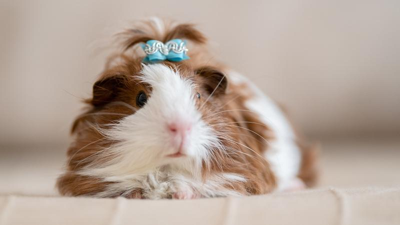 guinea pig with bow