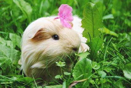 Flower On Guinea Pig On Field
