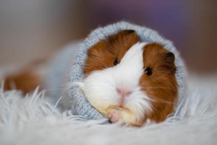Sheltia guinea pig