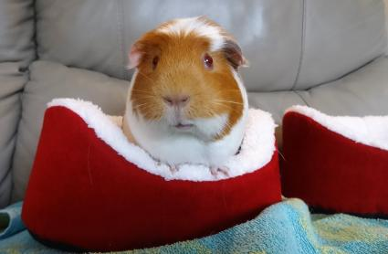 Guinea Pig In Red Pet House