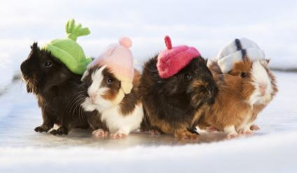 Baby Guinea Pigs with Hats on Ice Pond in Winter