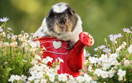 Guinea pig is sitting between flowers