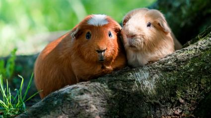 Two Guinea pigs for a walk in the Park