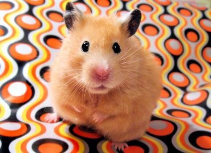 syrian hamster Chmurka