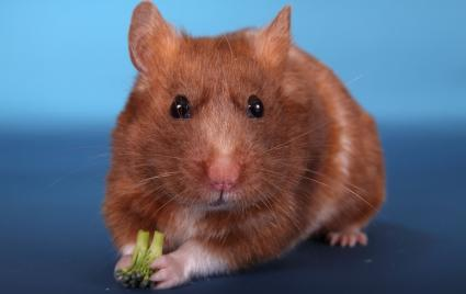 Golden Hamster With Broccoli