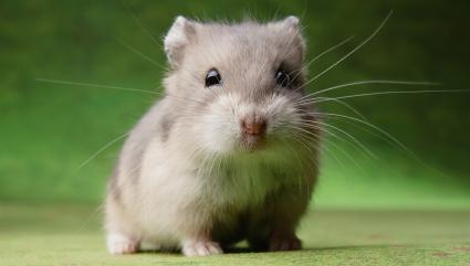 Hamster on Green Background