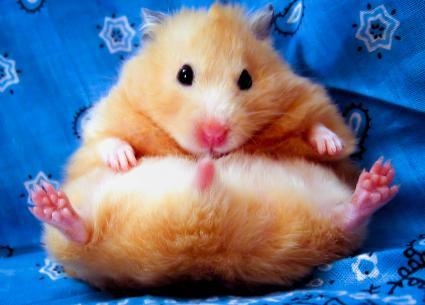 Female golden syrian hamster sittin