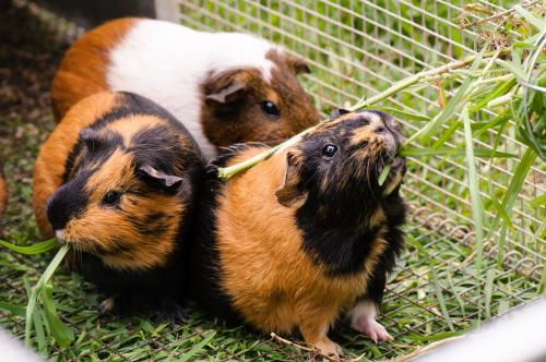 Three pet guinea pigs