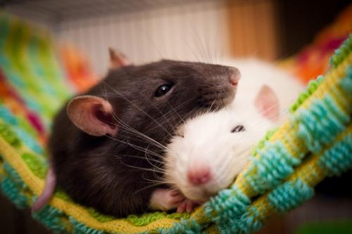 Two pet rats napping on towel