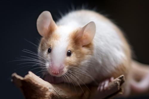 Closeup of pet mouse
