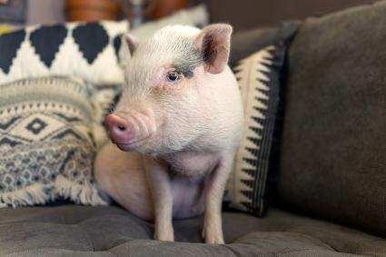 Cute baby piglet on couch