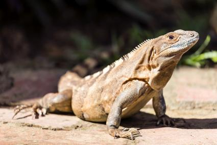 A green iguana under the sun at the Carara National Par