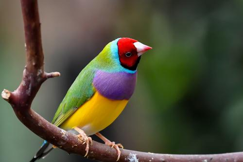 Gouldian Finch on a branch