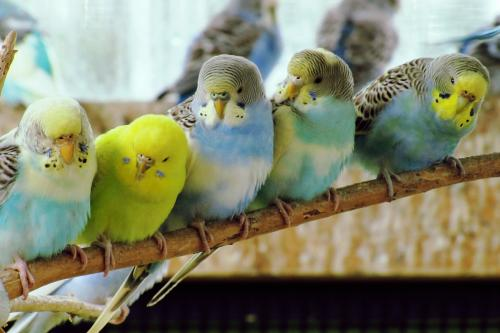 Closeup of Budgerigars perching on branch