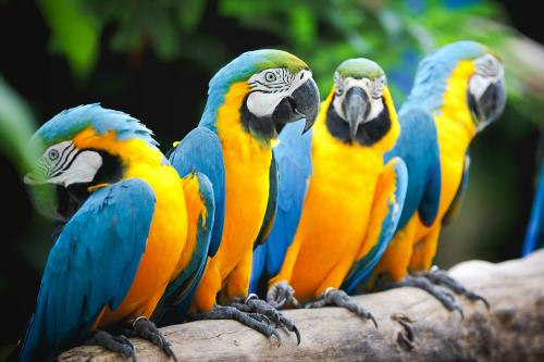 Colorful Macaw parrots sitting on branch