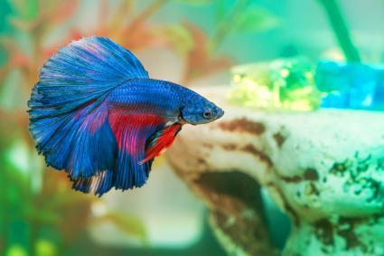 Blue betta fish Aquarian swims in aquarium