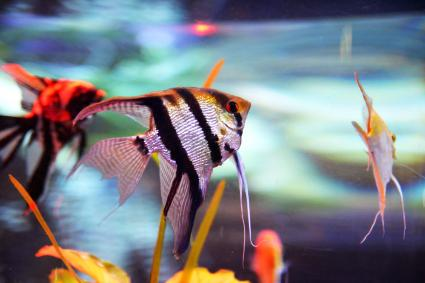 Angelfishes in a fish tank