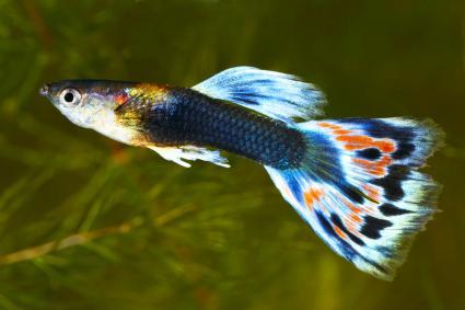 Guppy. Poecilia (Lebistes) reticulata
