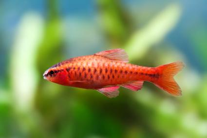 Beautiful red fish on soft green plants