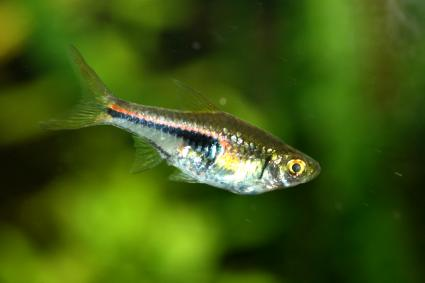 The Harlequin Rasbora (Rasbora heteromorpha) a popular freshwater aquarium fish