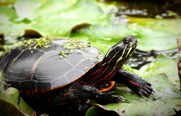 Painted Turtle On A Lilypad