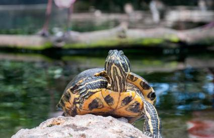 Turtle standing on a rock
