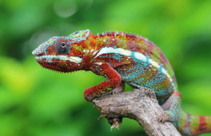 Chameleon On Plants At Night
