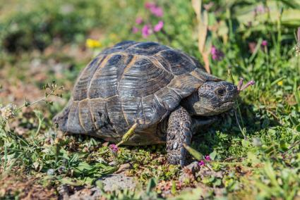 Tortoise on hillside in Greece