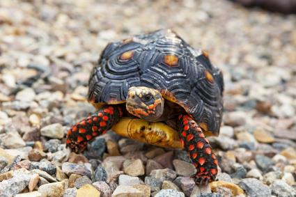 Red-Footed Tortoise walking outside